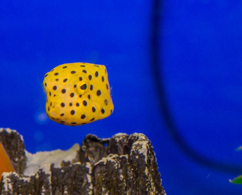 Boxfish-Juvenile.jpg