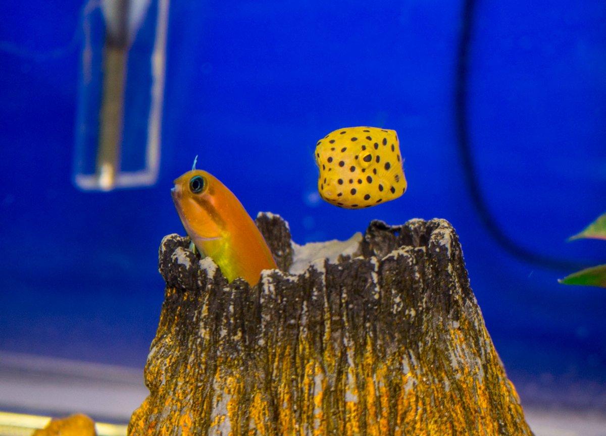BoxFish-MidasBlenny-QT.jpg