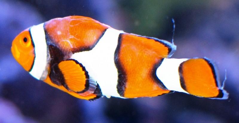 Brook humblefish a.jpg