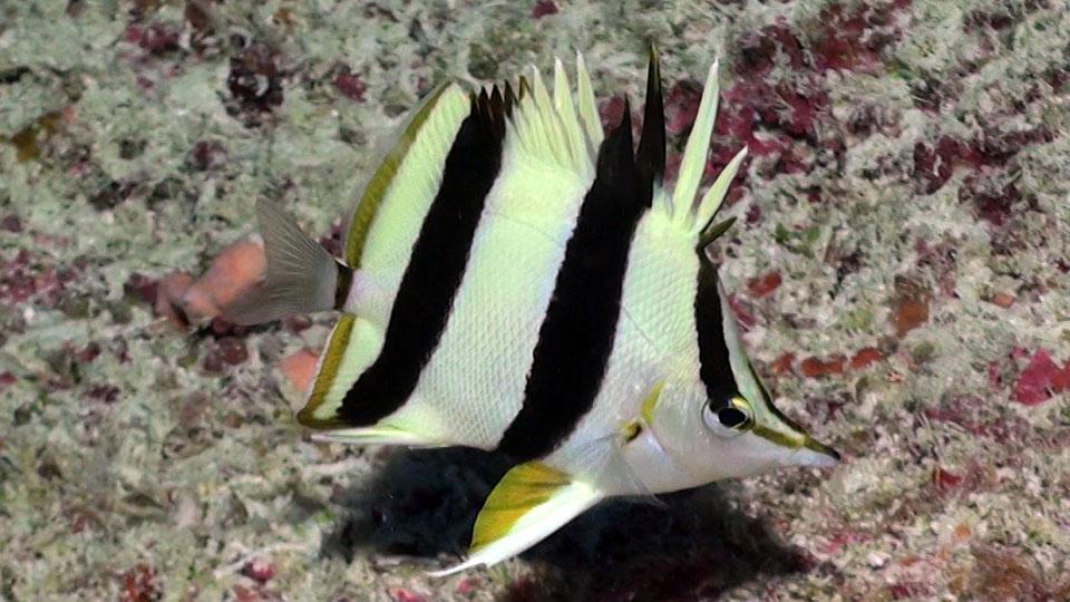 butterflyfish2.jpg