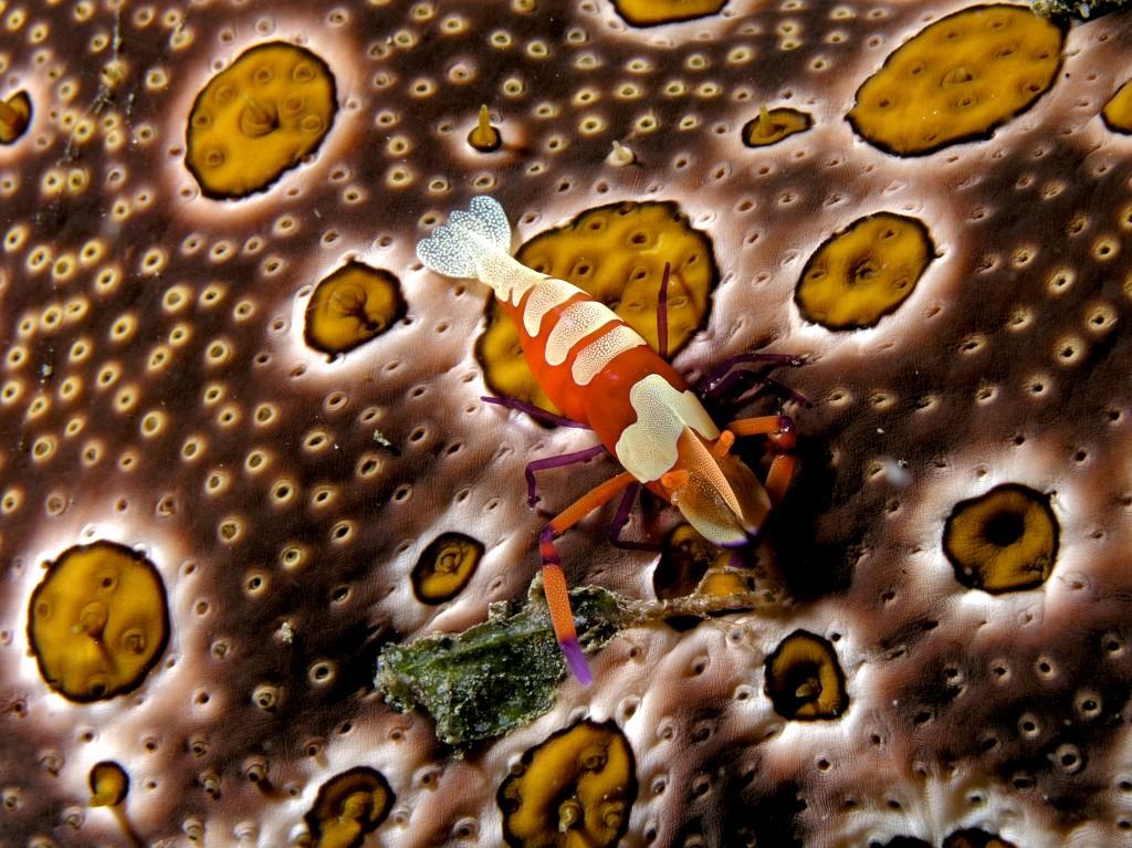 The Emperor's Shrimp (Periclimenes Imperator)   REEF2REEF