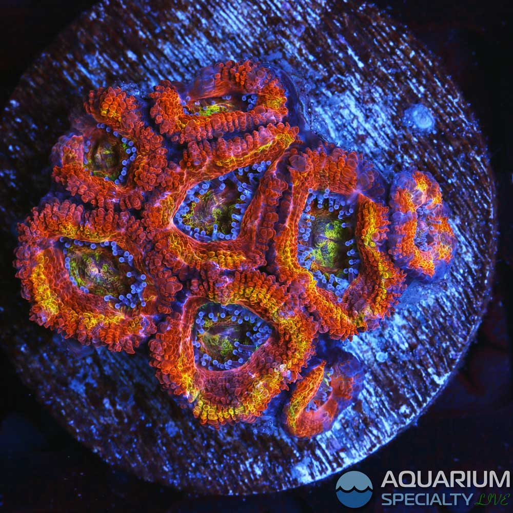 C45-Acan-colony.jpg