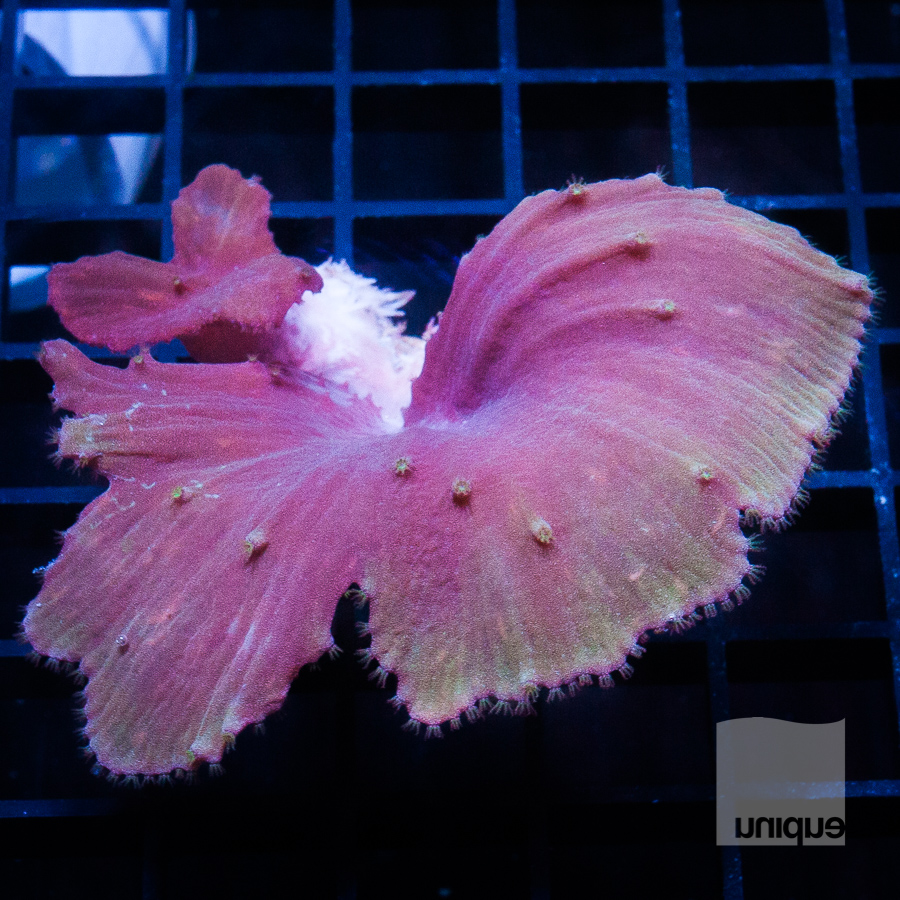 cabbage coral 58 38.jpg