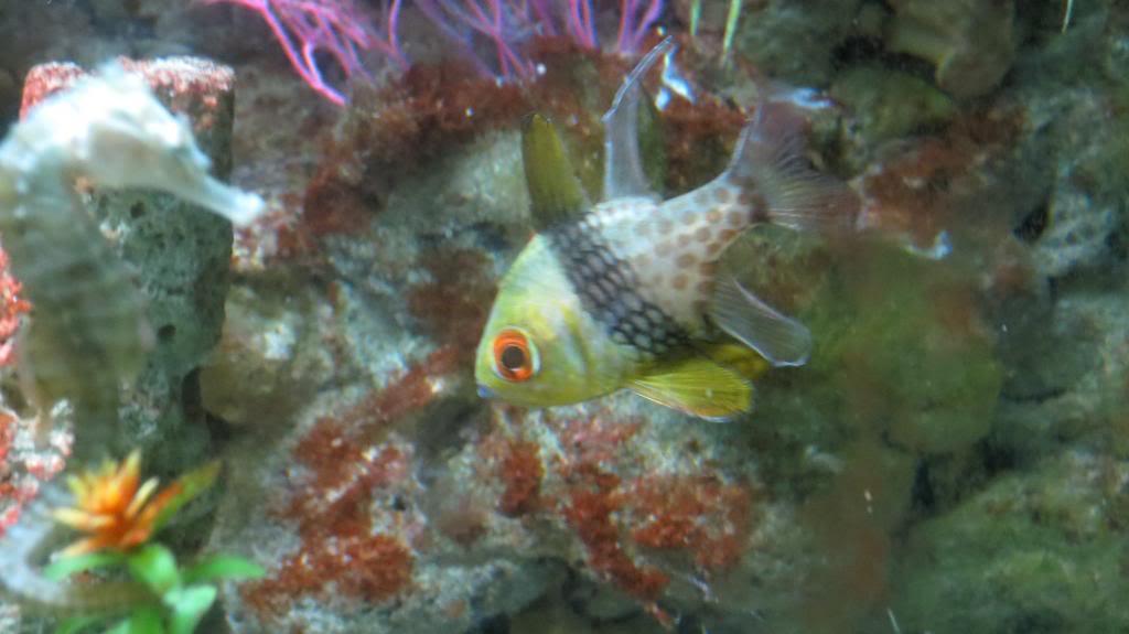cardinalfish-seahorsekeeper.jpg