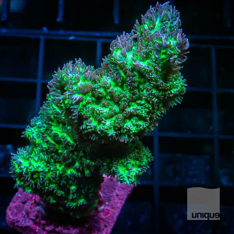Chunky Hydnophora 52 32.jpg