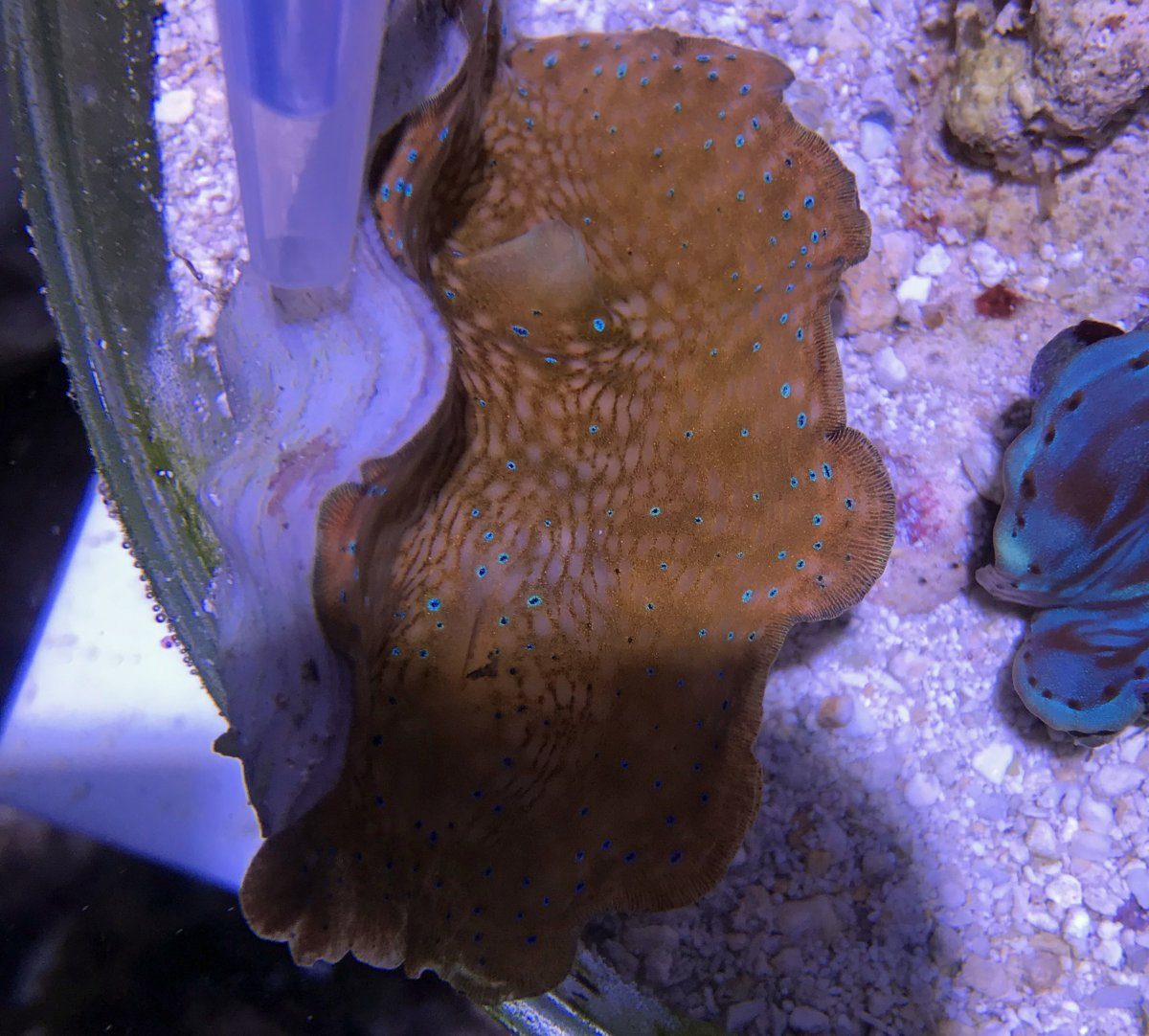 Clam2019072004Gigas#1shell.jpg