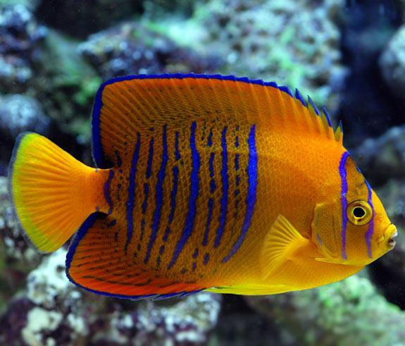 The holy grail rare marine fish reef2reef saltwater for Fish compatible with angelfish