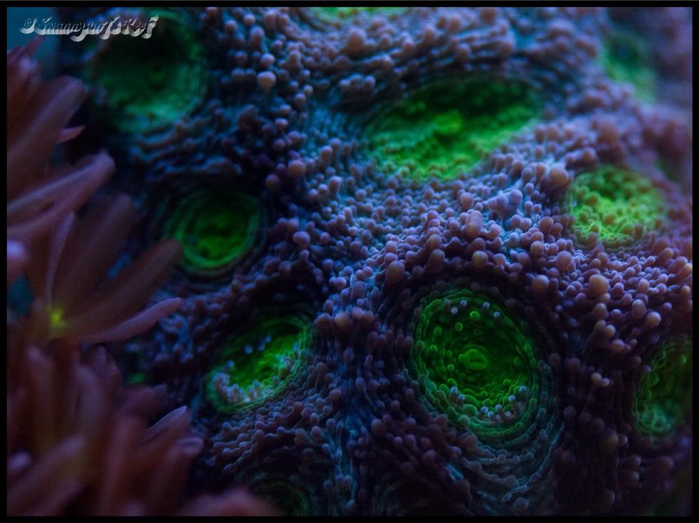 coral acan.jpg