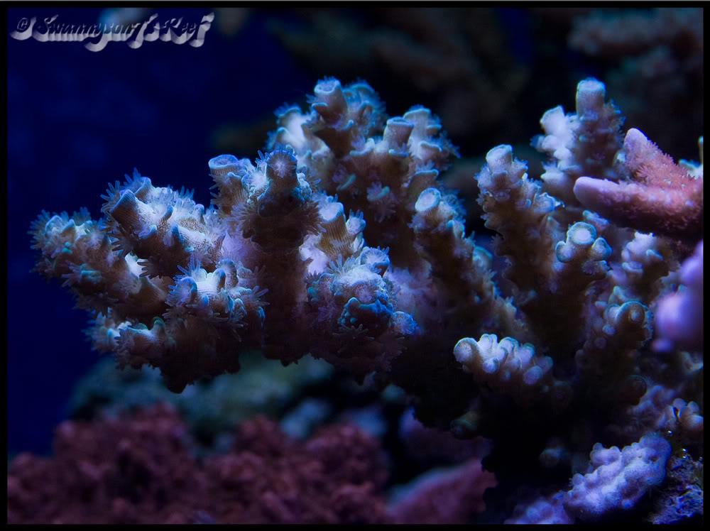 coral acro1.jpg