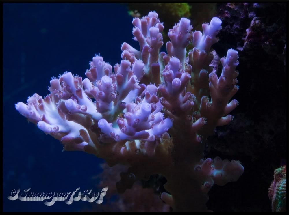 coral acro3.jpg
