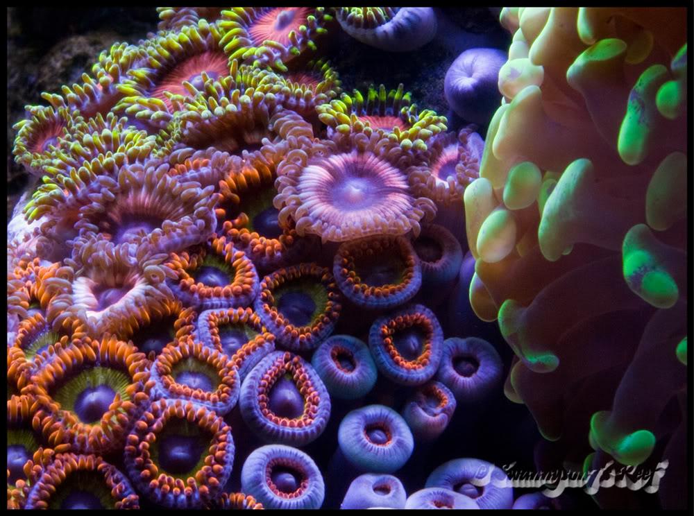 coral zoas.jpg