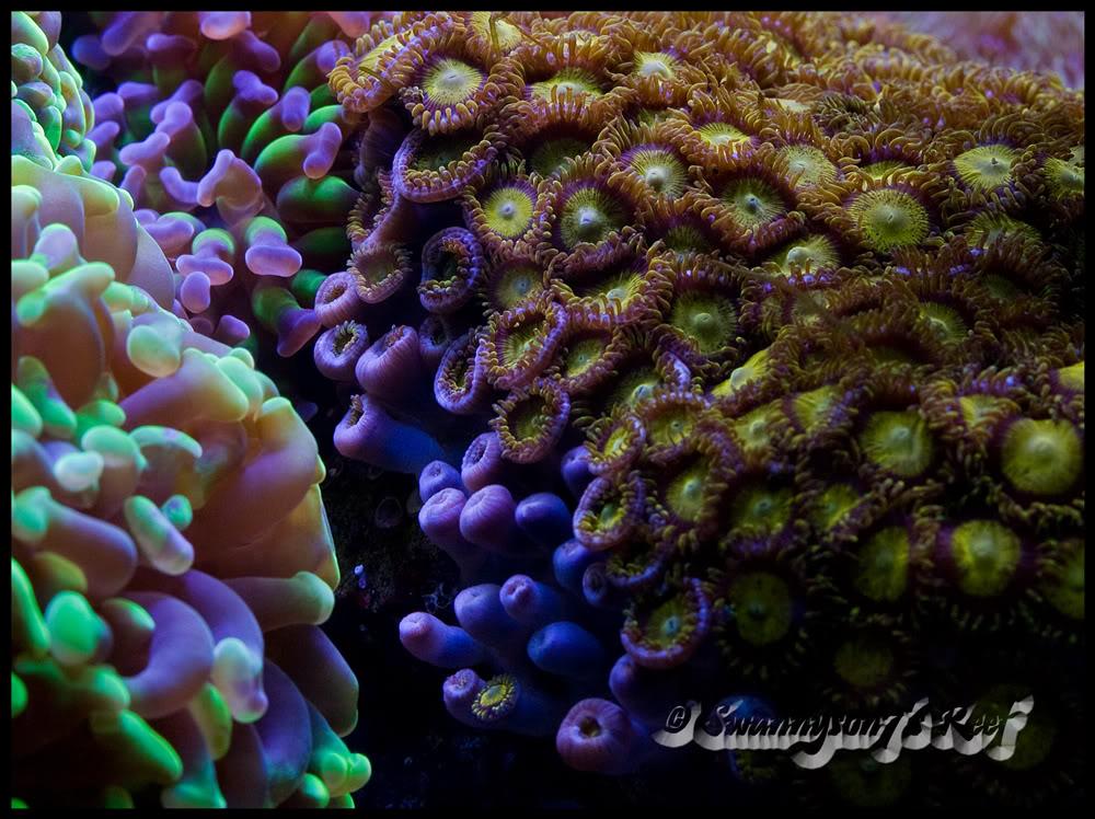 coral zoas2.jpg