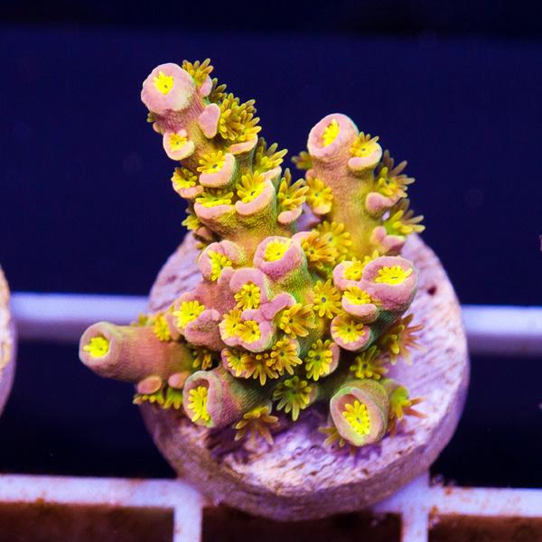 coral146.jpg