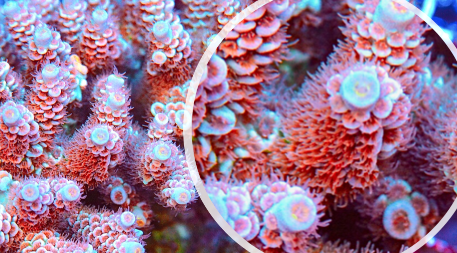 coral4.PNG