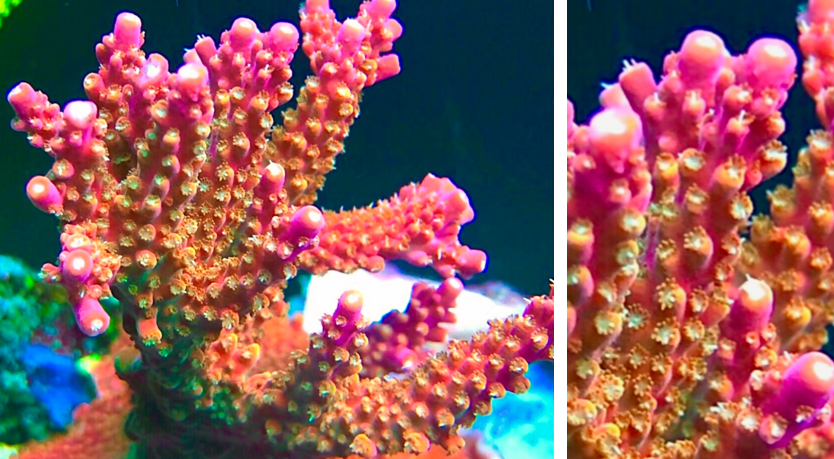 coral8.PNG