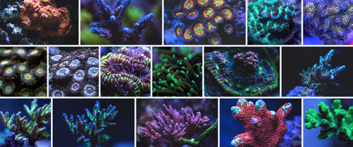 Corals Getty.png