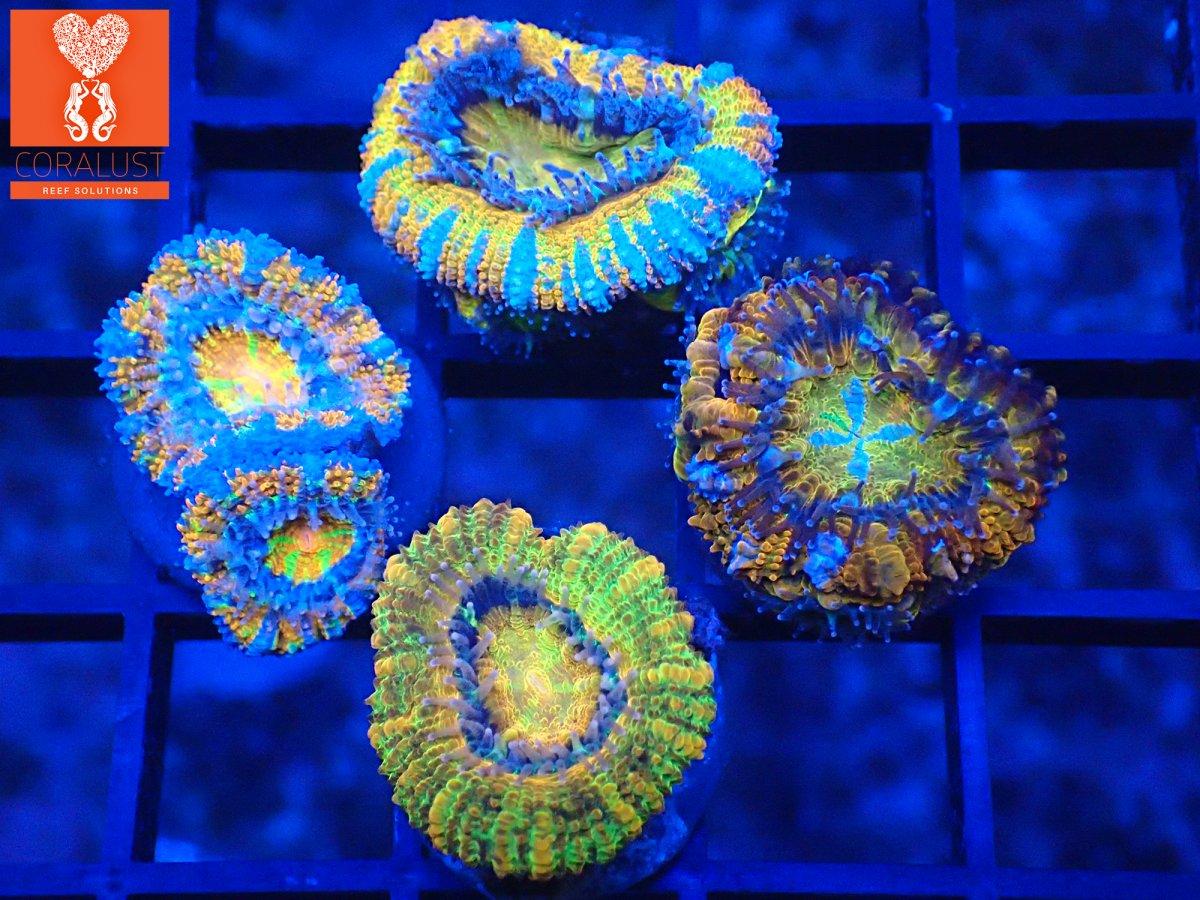 Coralust Rainbow Acan 4 Pack blue.jpg