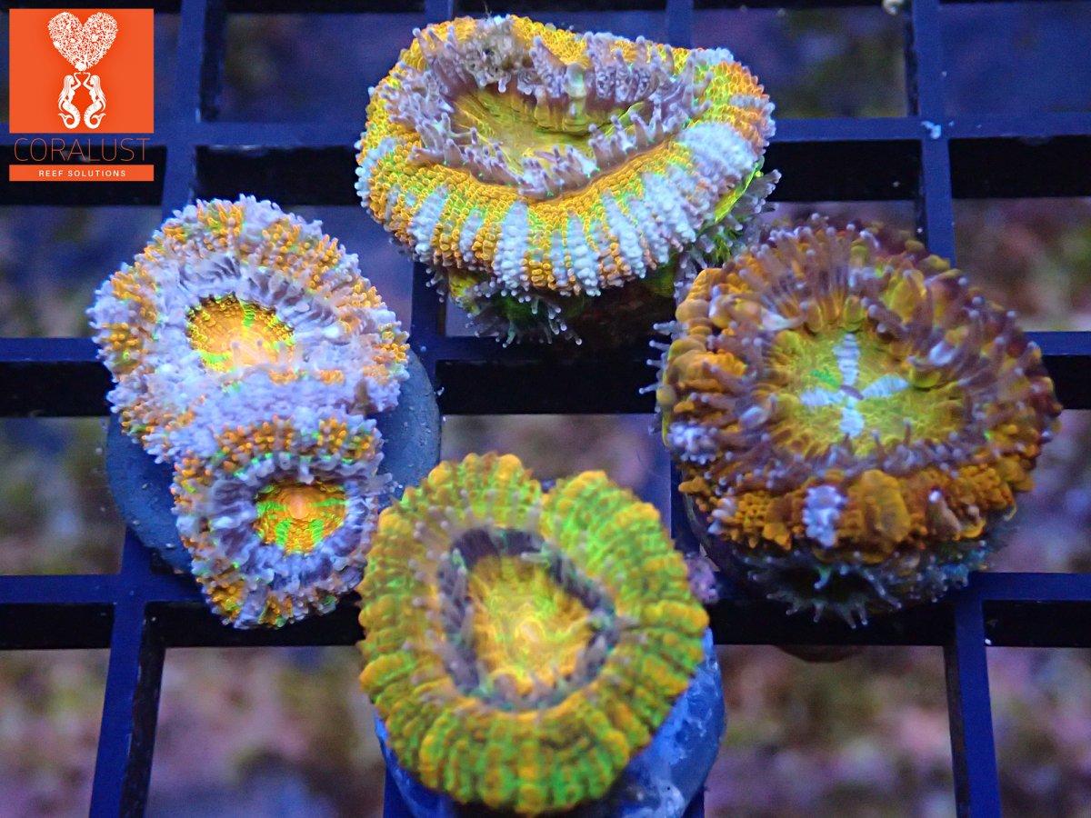 Coralust Rainbow Acan 4 Pack white.jpg