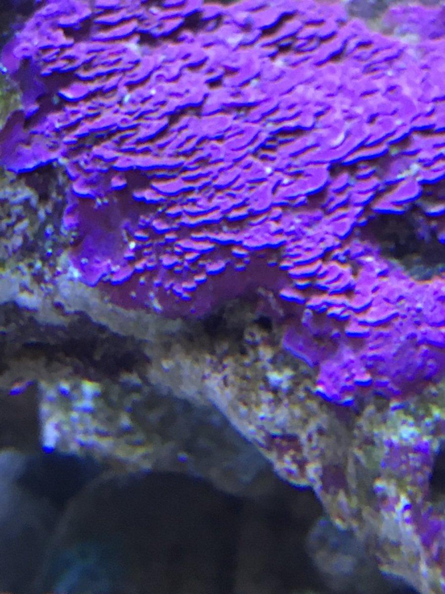Corraline algae.jpg