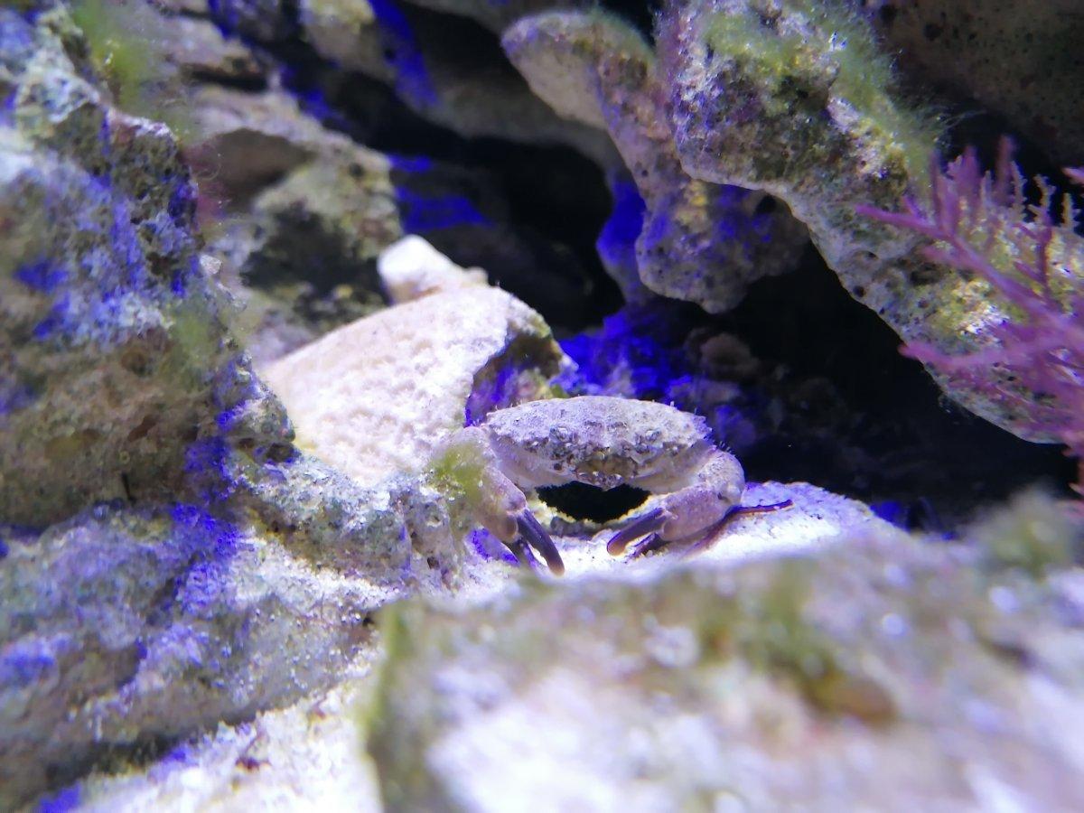 Crab holding eggs.jpg