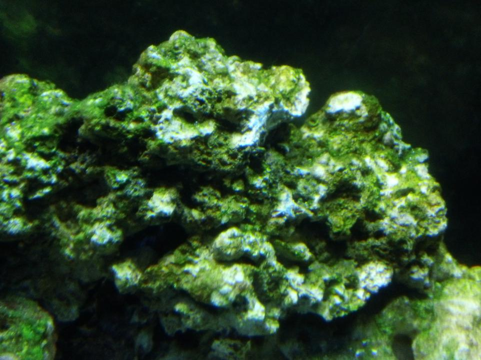 White spots on my green rock | REEF2REEF Saltwater and ...