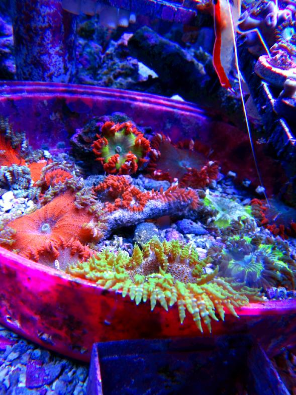 Rock Flower Anemone Where Should I Place It Reef2reef Saltwater And Reef Aquarium Forum