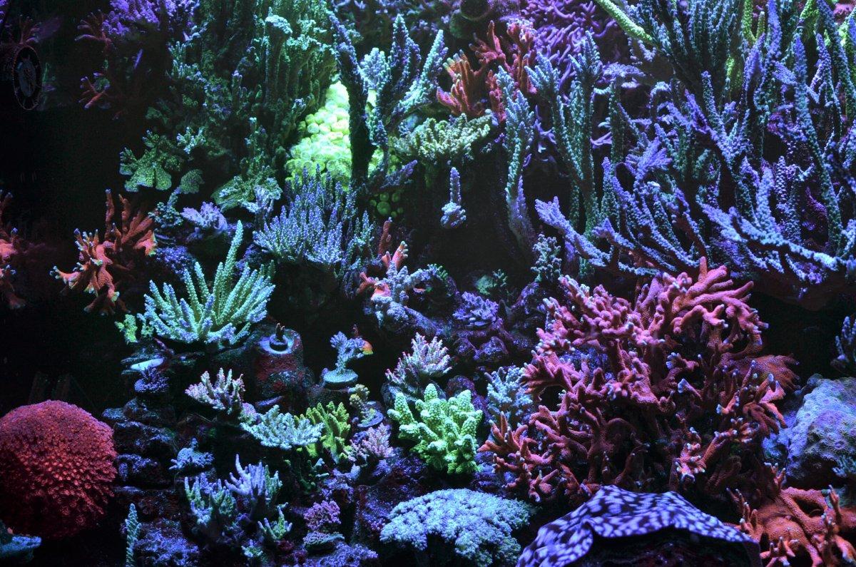 DSC_2570 lh corals.jpg