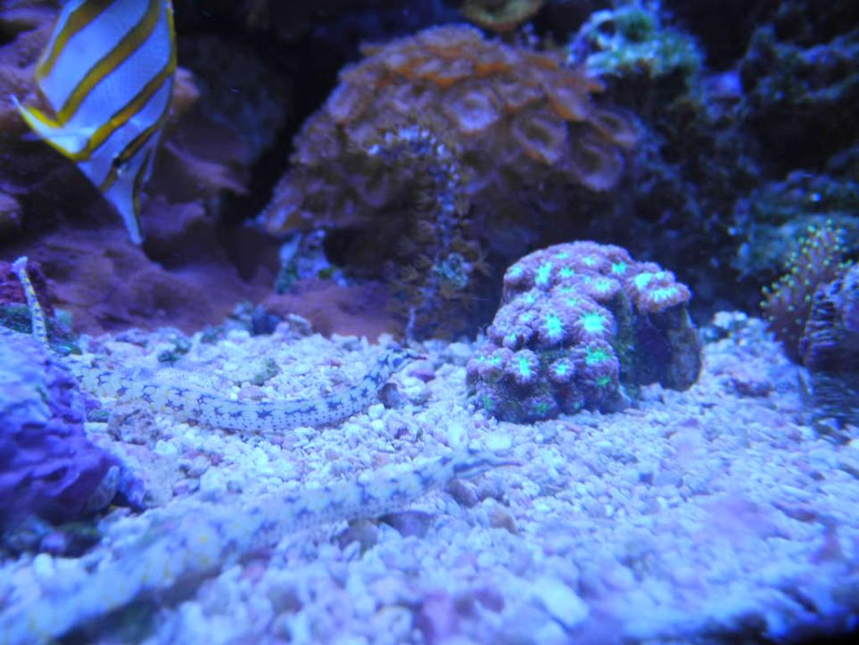 pipefish care - new pictures added | REEF2REEF Saltwater ...