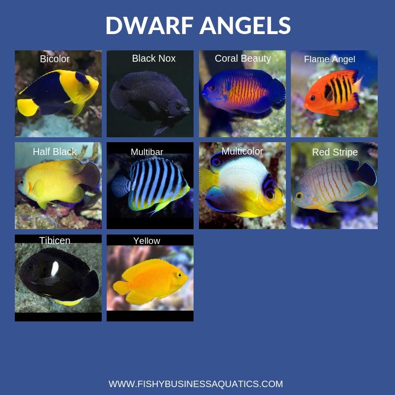 26 Species Of Angelfish In Stock Dwarf Large Reef2reef Saltwater And Reef Aquarium Forum