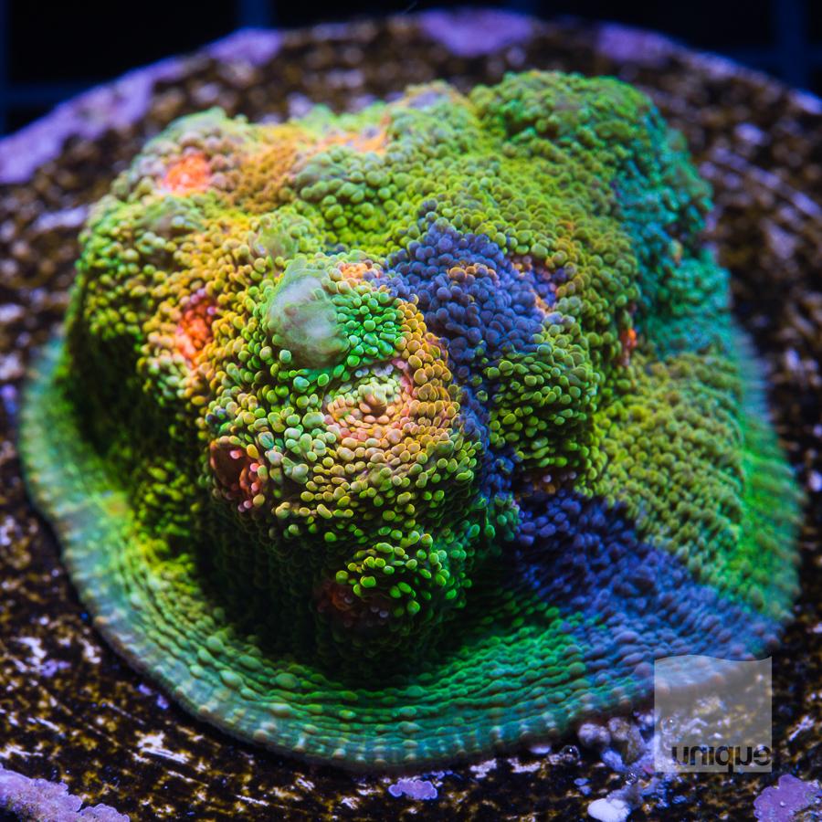 echino mini colony 299 199.jpg