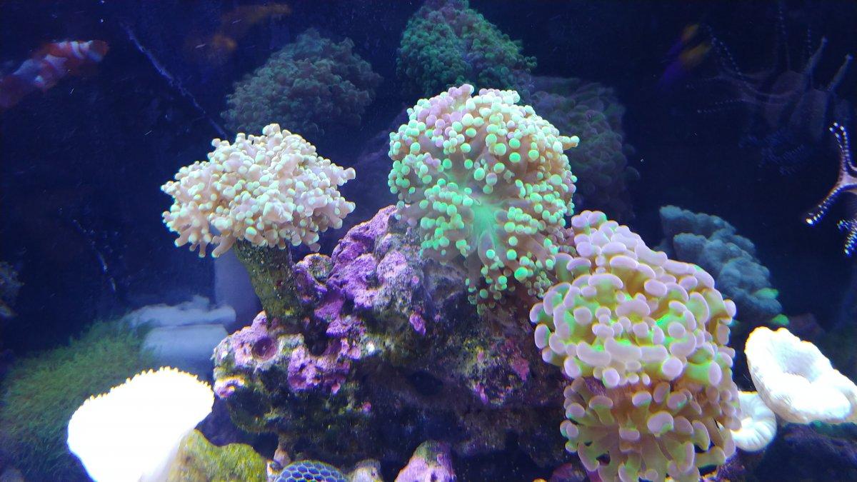 Transparent frogspawn | REEF2REEF Saltwater and Reef ...