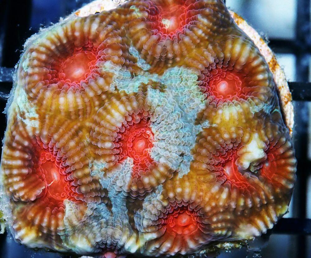F Jl0538 49 Cherry Jubilee Brain.jpg
