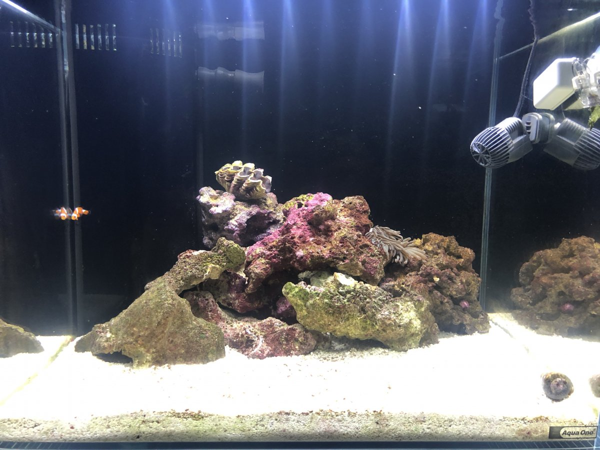 Adding Flame Angel And Coral Beauty In 30g Reef2reef Saltwater And Reef Aquarium Forum
