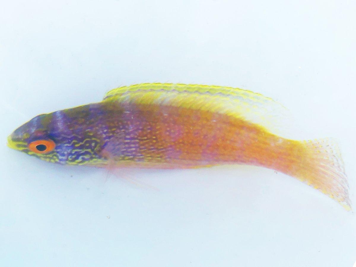 Female Rhomboid.jpg