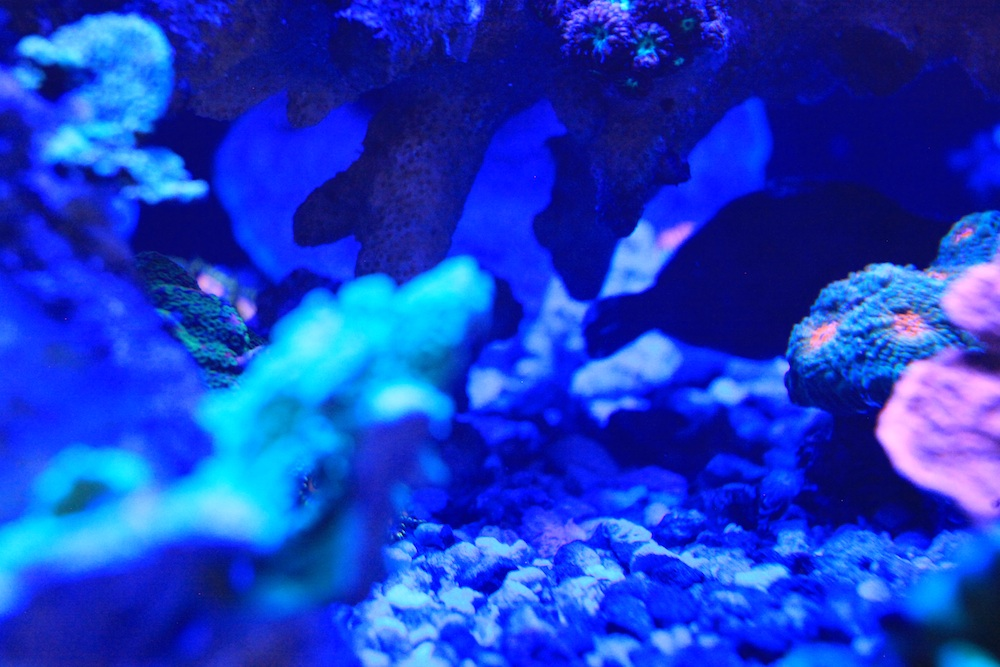 Filefish and Coral Matt Geldof 120 gallon reef aquarium.jpg