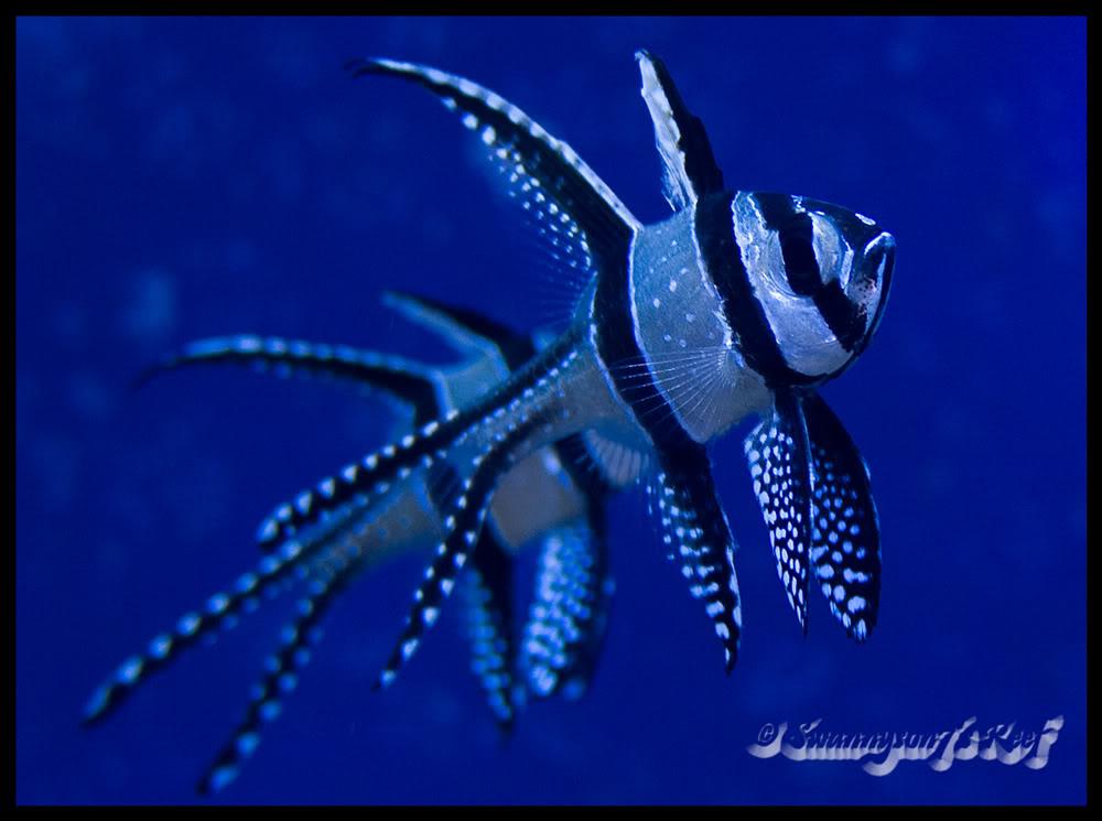 fish bangaii.jpg