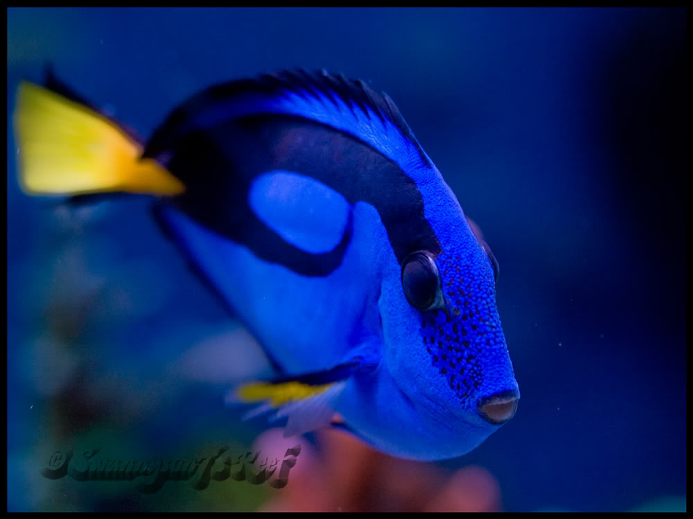fish blue hippo.jpg
