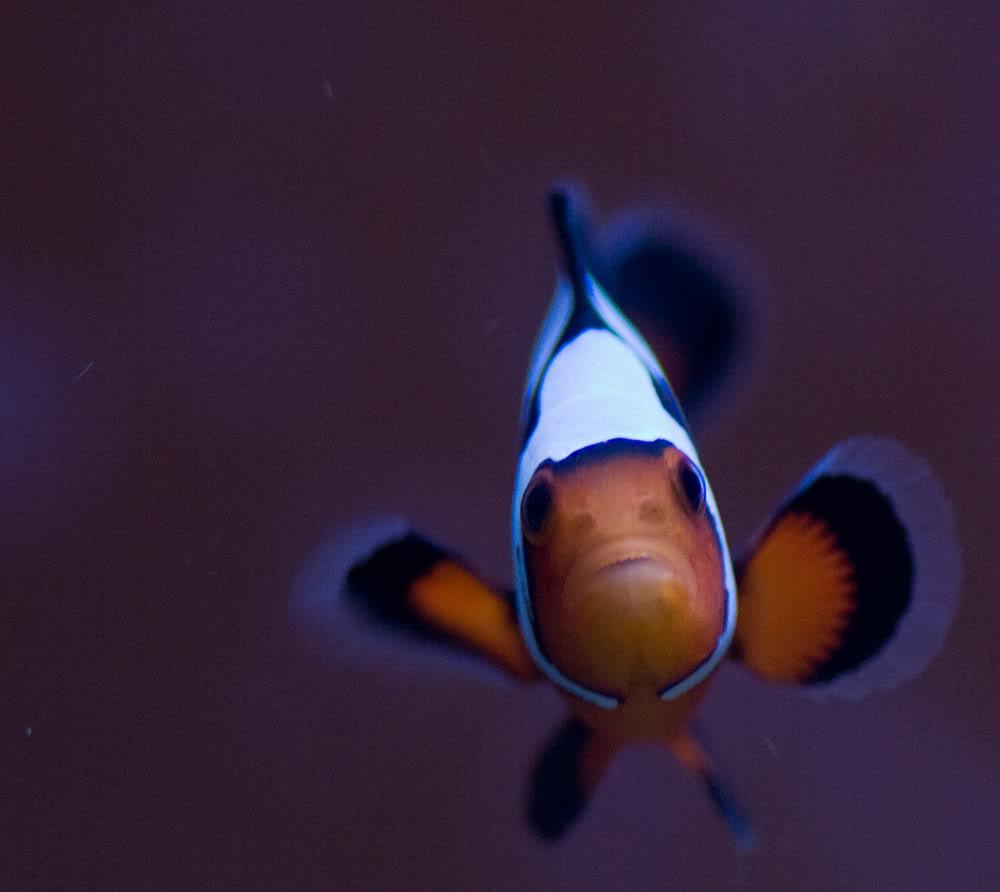 fish clown2.jpg