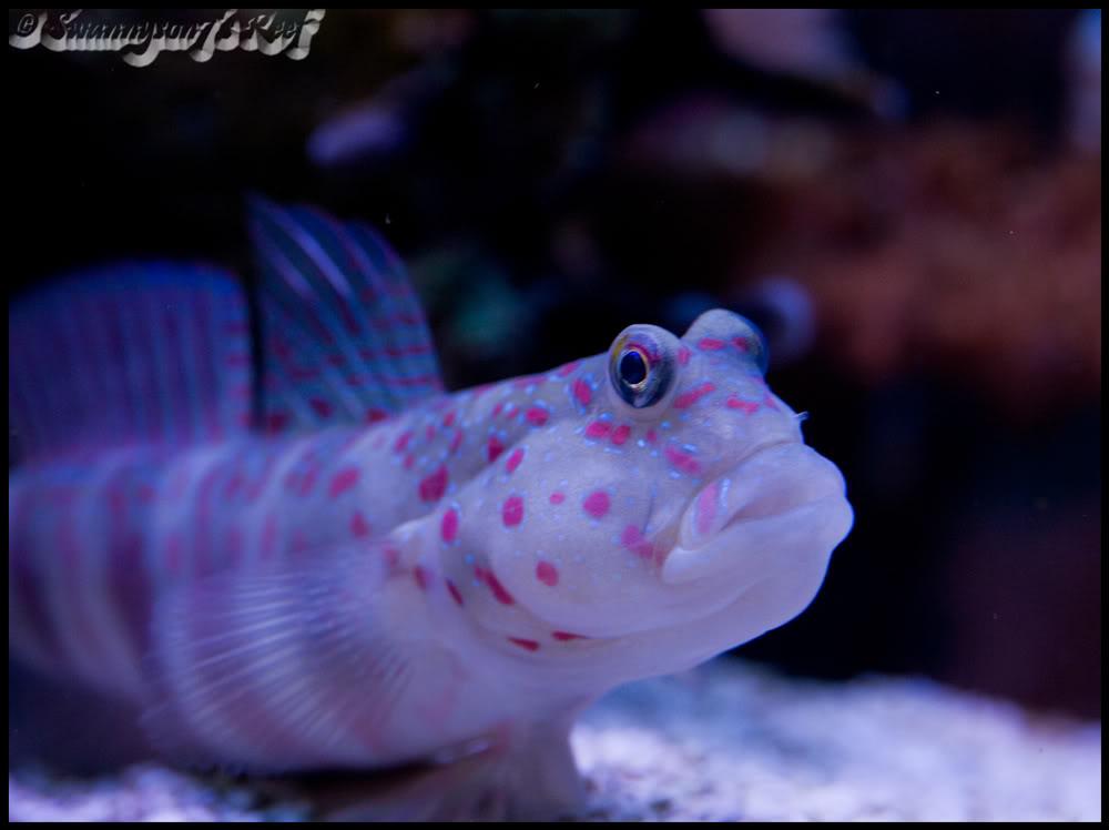 fish goby.jpg