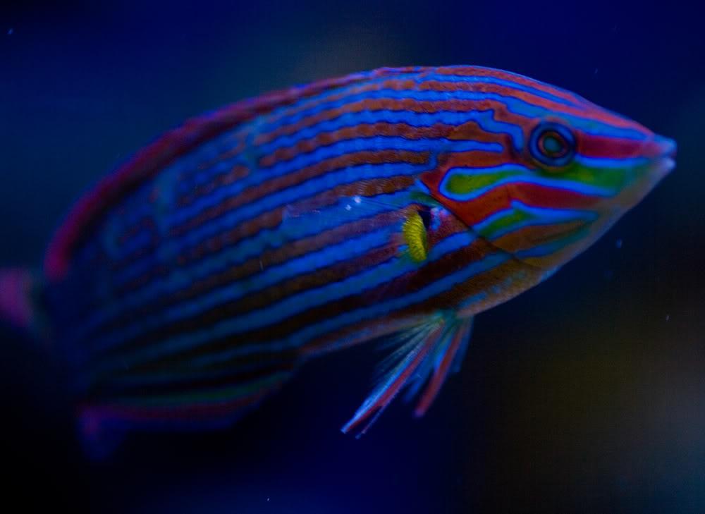 fish malanarus wrasse.jpg