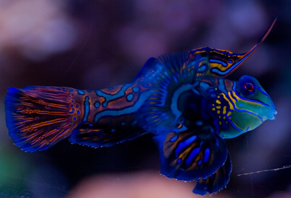 fish mandarin.jpg