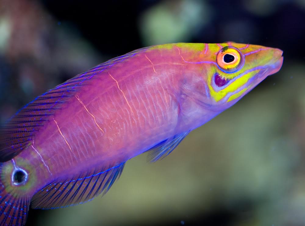 fish mystery wrasse.jpg