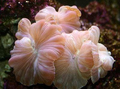 fox coral.jpg