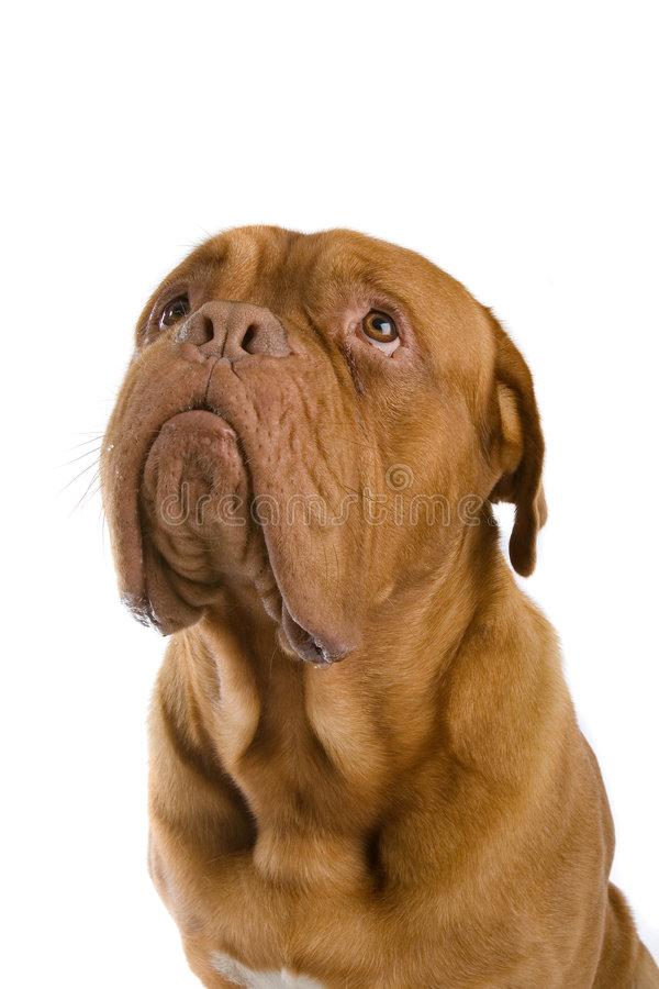 french-mastiff-dog-4412267.jpg