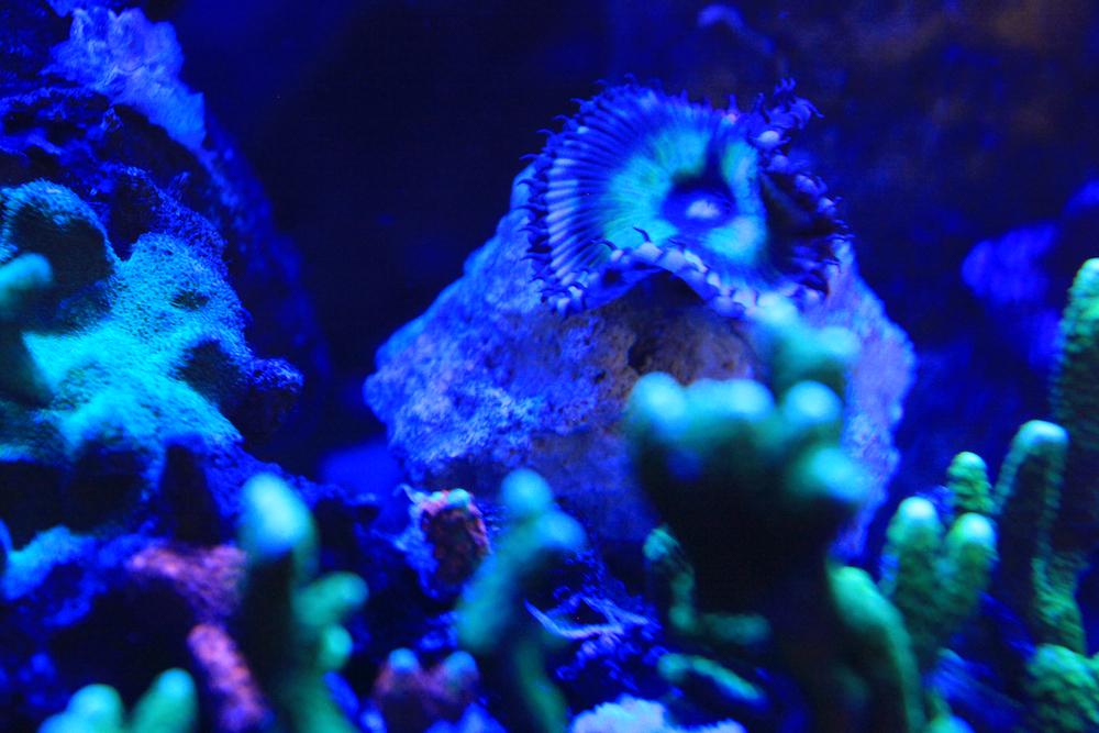 Giant Palythoa Matthew Geldof 120 Reef Aquarium.jpg