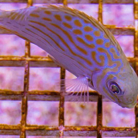 Gold-Line-Rabbitfish-1_eb86fa47-594d-4dd4-9683-2568a06bf0ca_540x.jpg