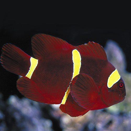 Gold-Stripe-Maroon-Clownfish.jpg