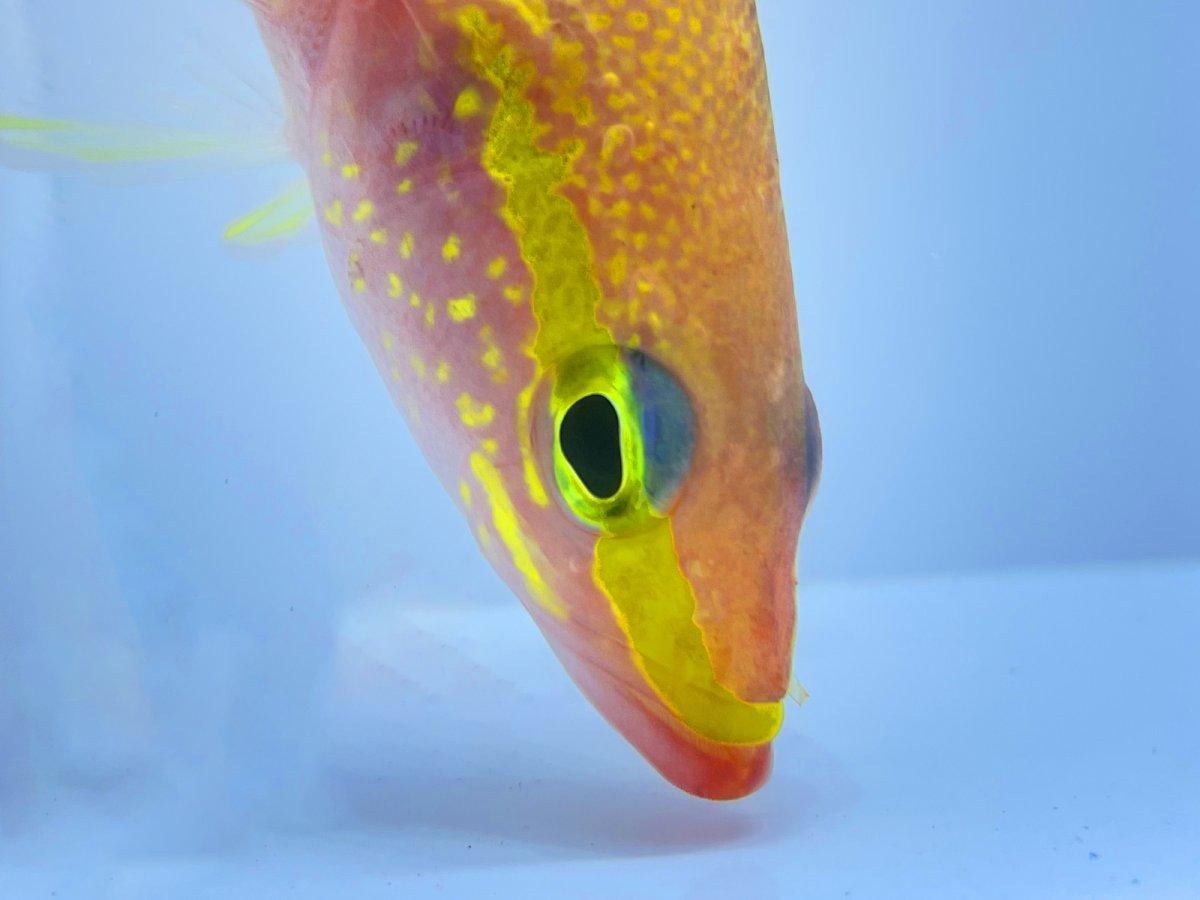 Golden Bass 1.jpg