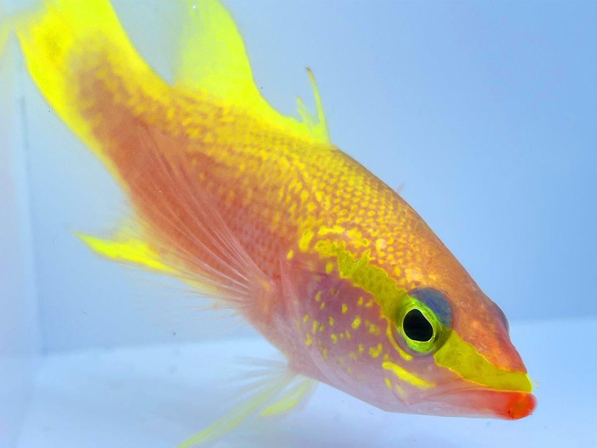 Golden Bass 3.jpg