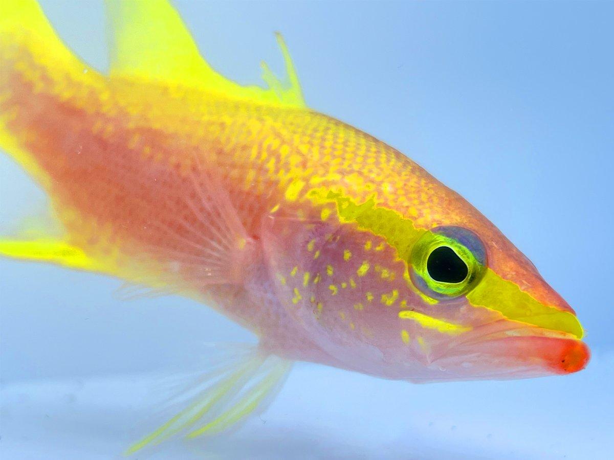 Golden Bass 4.jpg